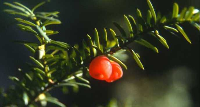 If du Canada (Taxus canadensis) Crédit - Wikimedia.jpeg